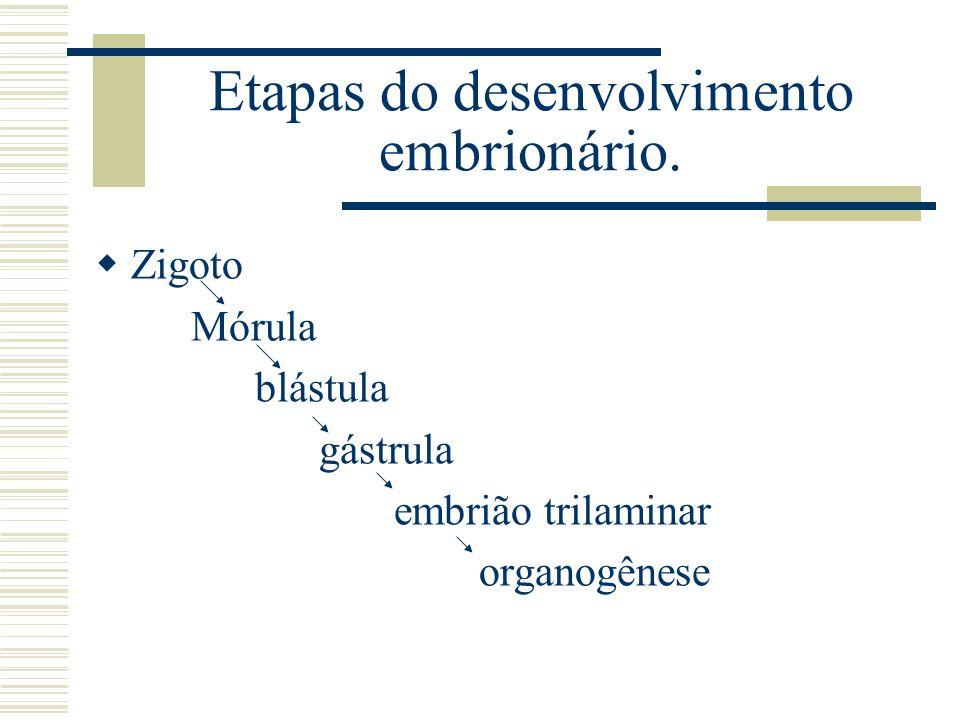 Etapas do desenvolvimento embrionário. Zigoto Mórula blástula gástrula embrião trilaminar organogênese