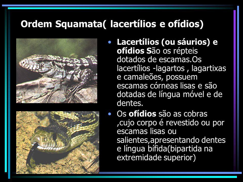 Ordem Squamata( lacertílios e ofídios) Lacertílios (ou sáurios) e ofídios São os répteis dotados de escamas.Os lacertílios -lagartos, lagartixas e camaleões, possuem escamas córneas lisas e são dotadas de língua móvel e de dentes.