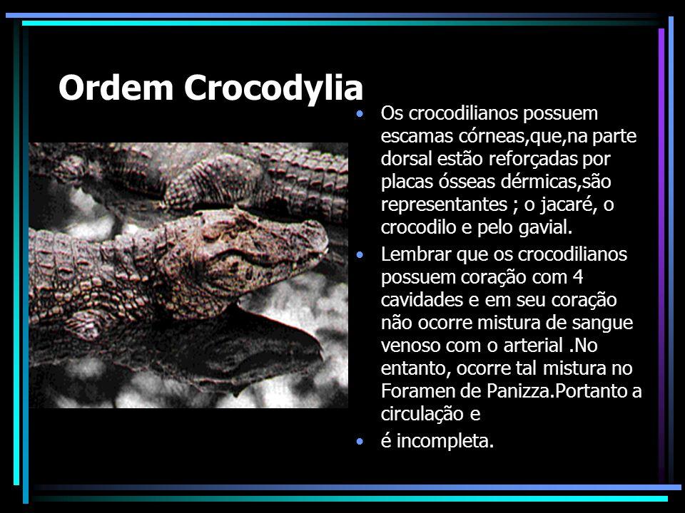 Ordem Crocodylia Os crocodilianos possuem escamas córneas,que,na parte dorsal estão reforçadas por placas ósseas dérmicas,são representantes ; o jacaré, o crocodilo e pelo gavial.
