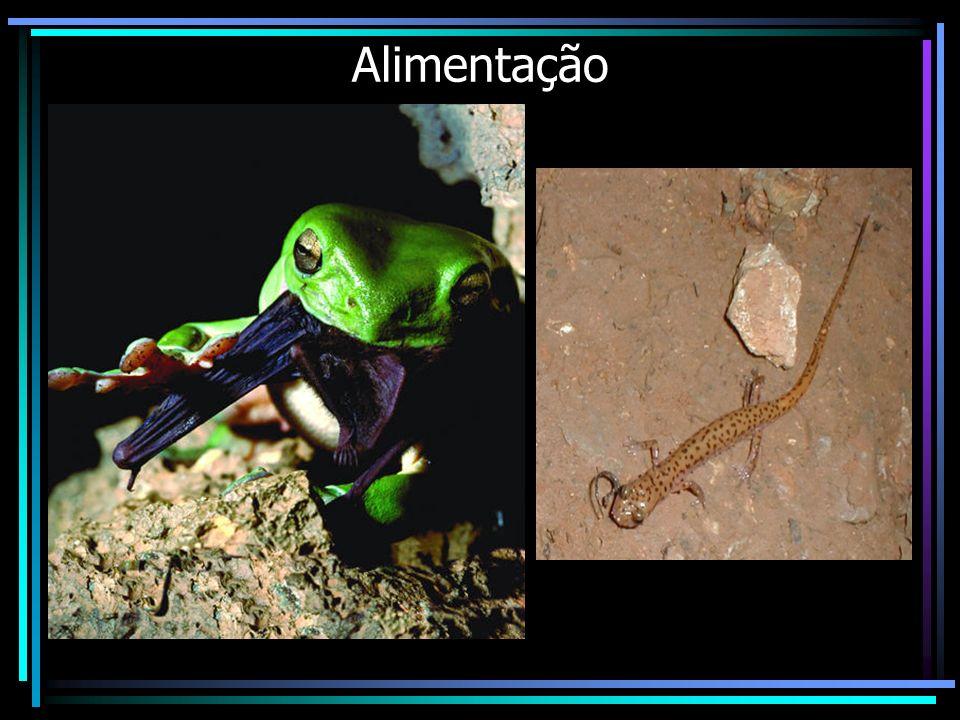 Metamorfose Fase Larval: -Respiração branquial -Excreção de uréia -Aquáticos Fase Adulta: -Respiração pulmonar -Excreção de amônia -Terrestres