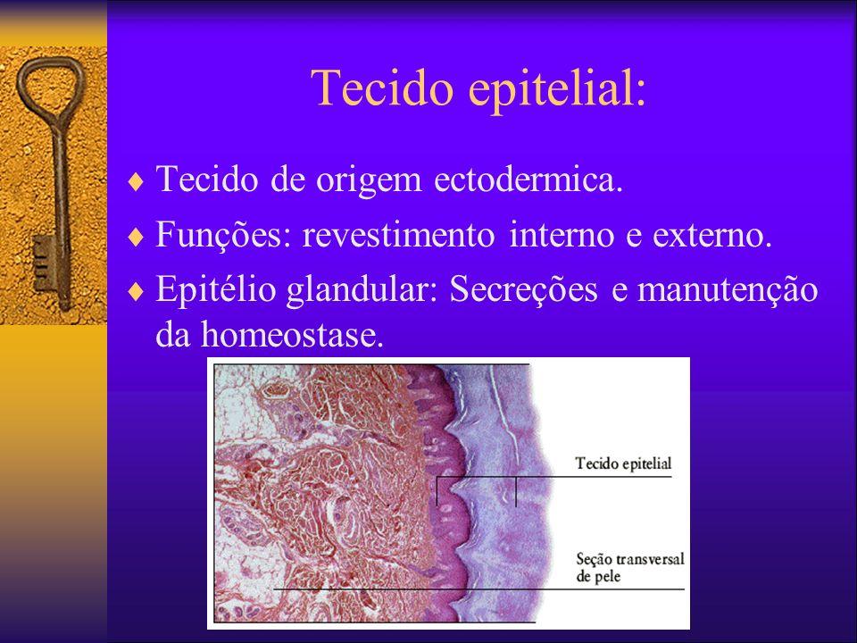 Tecido epitelial (características) As células formam uma camada contínua revestindo uma superfície interna ou externa; As células são mantidas em suas ligações comuns por pouca substância intercelular Uma superfície de cada célula é livre e, com freqüência, altamente especializada A superfície oposta apóia-se em uma membrana basal derivada do tecido conjuntivo subjacente Vasos sangüíneos estão ausentes