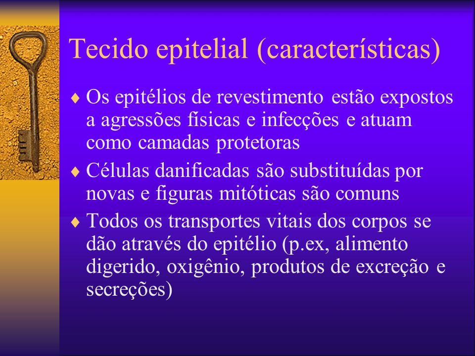 Tecido epitelial (características) Alguns epitélios são especializados no recebimento de estímulos Endotélio é o nome dado ao epitélio que reveste o sistema vascular.