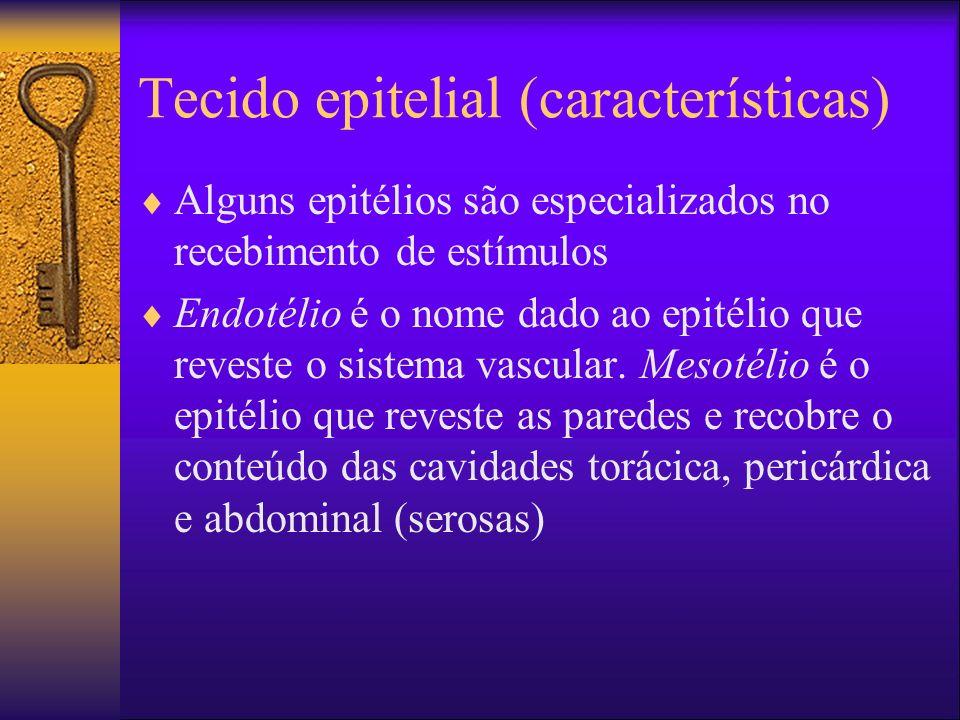 Tecido epitelial (características) Alguns epitélios são especializados no recebimento de estímulos Endotélio é o nome dado ao epitélio que reveste o s