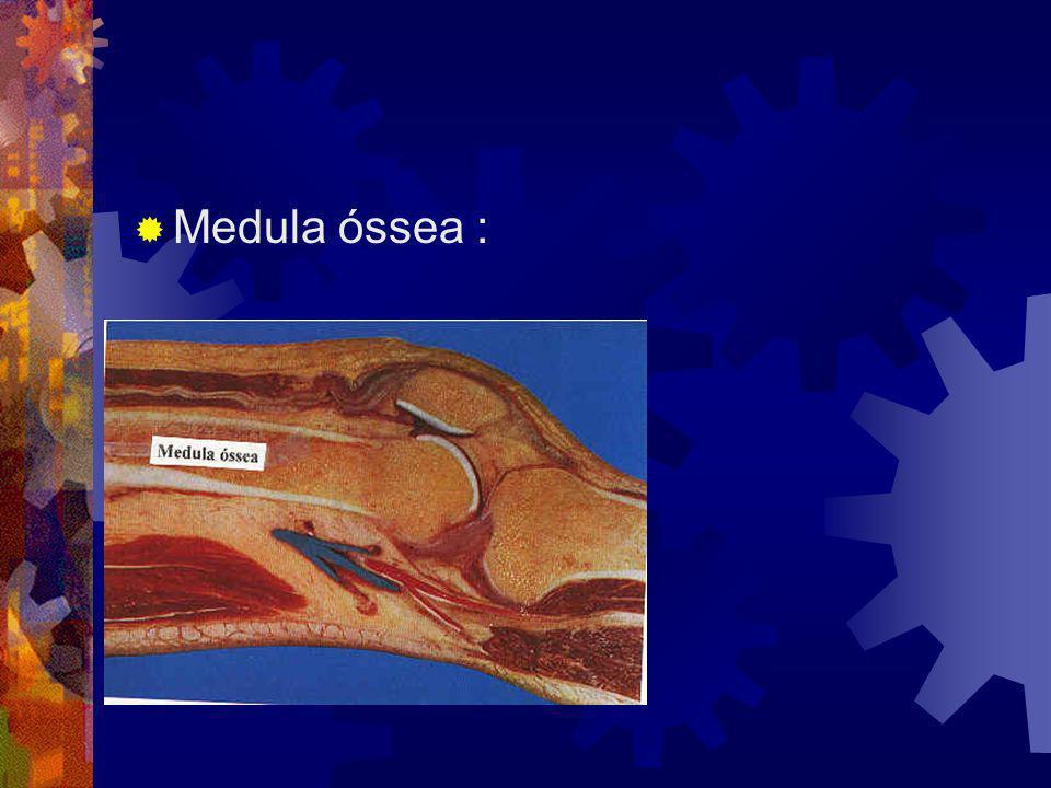 Medula óssea :