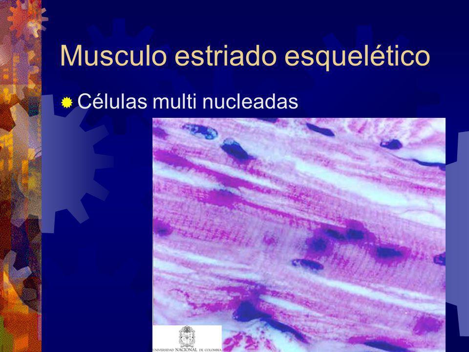 Musculo estriado esquelético Células multi nucleadas