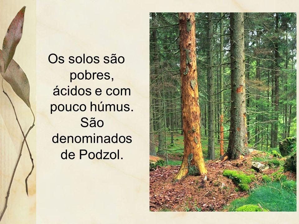 Apresenta um contorno superior uniforme, as copas são cônicas, e somente com o estrato arbóreo. As folhas são aciculifoliadas e perenes.