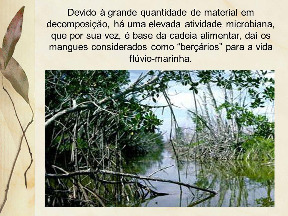 As principais características dos mangues são: espécies latifoliadas e perenes; raízes aéreas ou pneumatófaras; grande densidade e diversidade.
