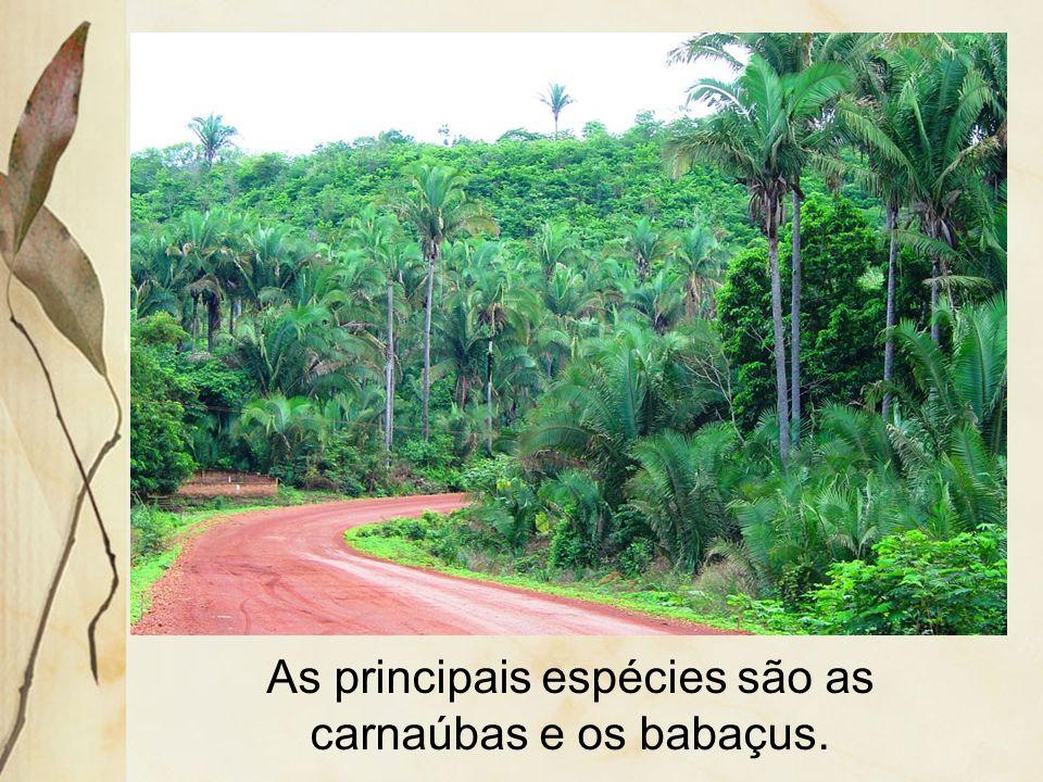 Por se localizar entre a floresta equatorial e à caatinga, é denominada de mata de transição.