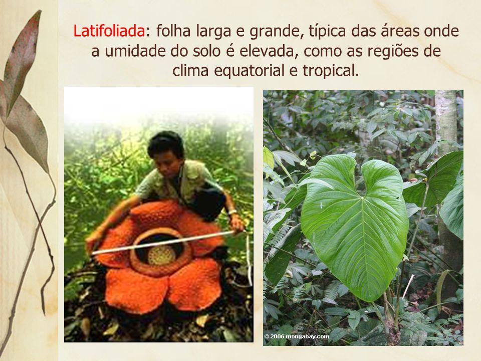 1. Vocabulário Aciculifoliada: folha em forma de agulha, como a do pinheiro. A área de incidência são regiões de clima com invernos prolongados e rigo