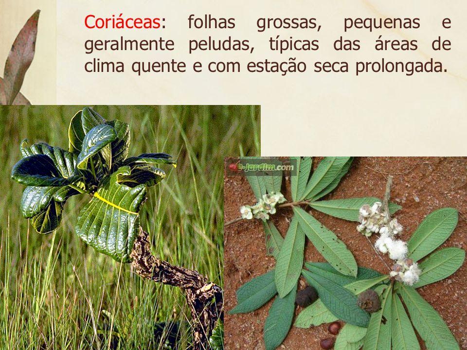 A escassez de chuvas impõe o xeromorfismo, isto é, adaptações que o vegetal adquire em função do ambiente seco.