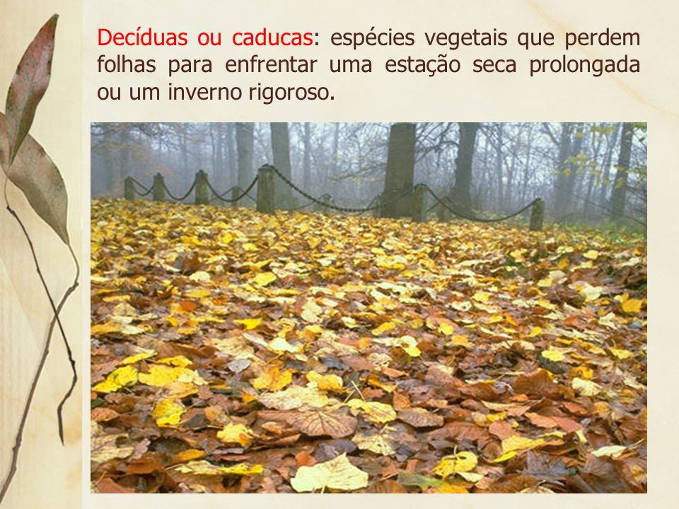 Decíduas ou caducas: espécies vegetais que perdem folhas para enfrentar uma estação seca prolongada ou um inverno rigoroso.