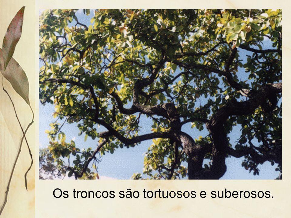 As folhas são coriáceas e algumas espécies são semi-decíduas.