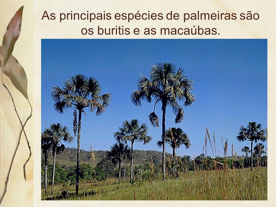 Veredas são alinhamentos de palmeiras meio de uma mata tropical, típicas do cerrado. Indicam a presença de nascentes de rios e olhos dágua.