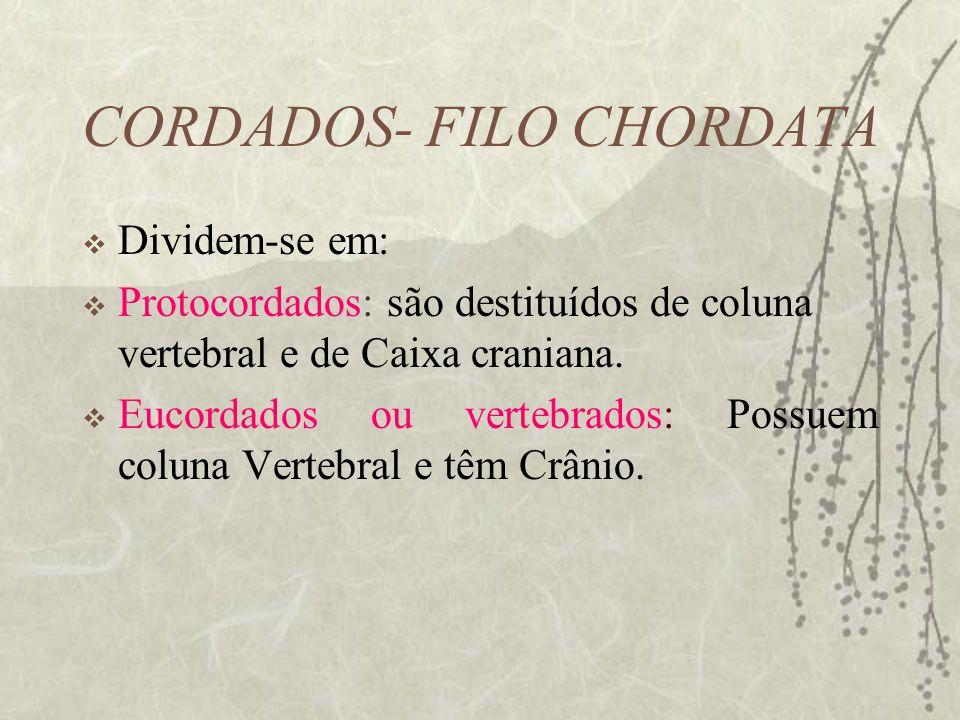 CORDADOS- FILO CHORDATA Dividem-se em: Protocordados: são destituídos de coluna vertebral e de Caixa craniana. Eucordados ou vertebrados: Possuem colu