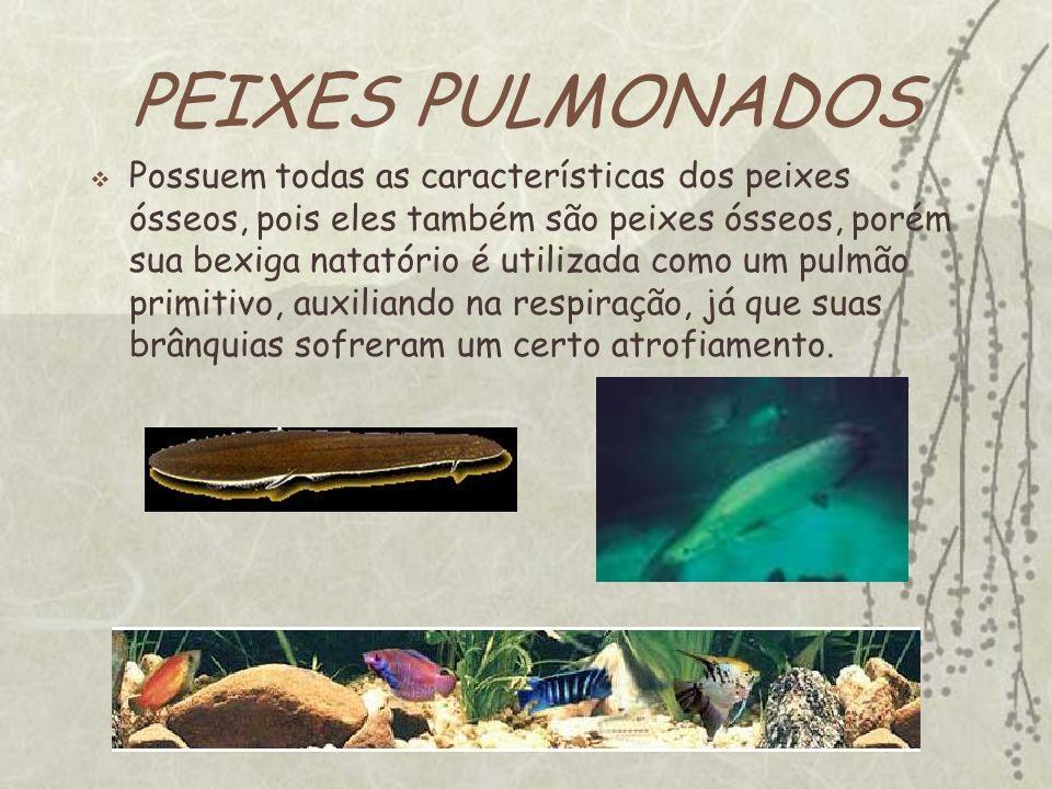 PEIXES PULMONADOS Possuem todas as características dos peixes ósseos, pois eles também são peixes ósseos, porém sua bexiga natatório é utilizada como um pulmão primitivo, auxiliando na respiração, já que suas brânquias sofreram um certo atrofiamento.