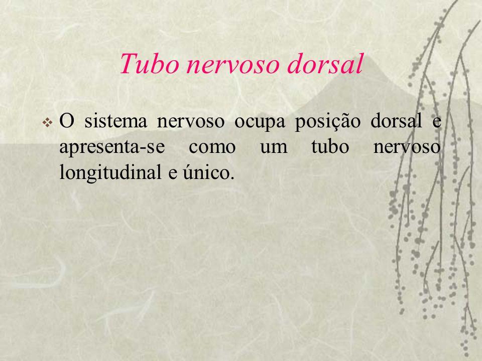 Tubo nervoso dorsal O sistema nervoso ocupa posição dorsal e apresenta-se como um tubo nervoso longitudinal e único.