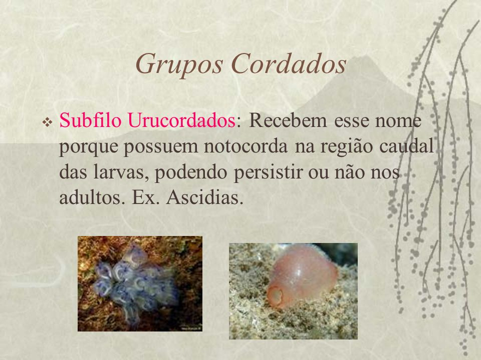 Grupos Cordados Subfilo Urucordados: Recebem esse nome porque possuem notocorda na região caudal das larvas, podendo persistir ou não nos adultos. Ex.