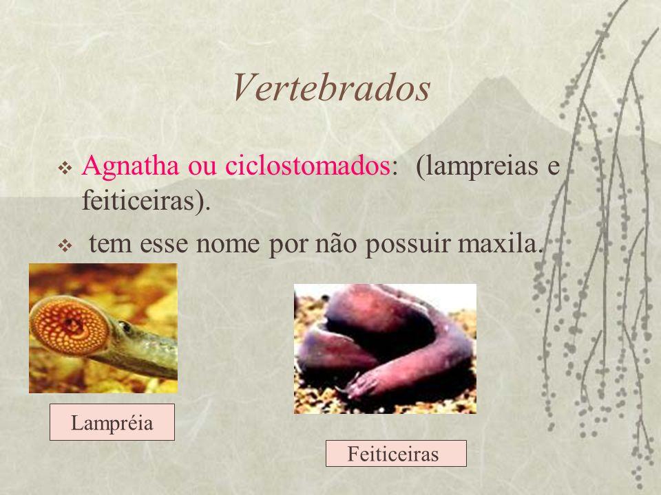 Vertebrados Agnatha ou ciclostomados: (lampreias e feiticeiras). tem esse nome por não possuir maxila. Lampréia Feiticeiras
