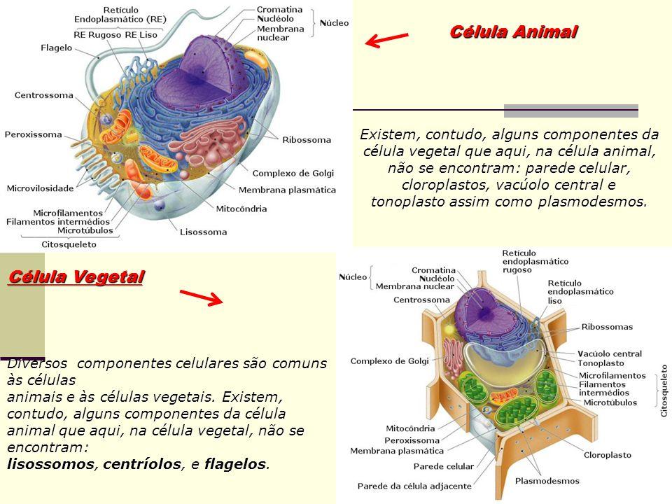 Célula Vegetal Diversos componentes celulares são comuns às células animais e às células vegetais. Existem, contudo, alguns componentes da célula anim