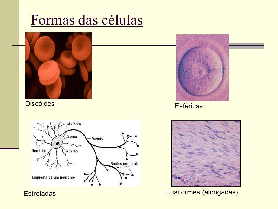 Formas das células Esféricas Fusiformes (alongadas) Discóides Estreladas