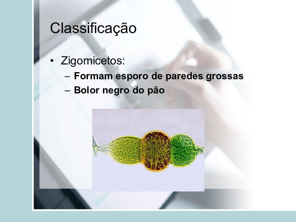 Classificação Zigomicetos: –Formam esporo de paredes grossas –Bolor negro do pão