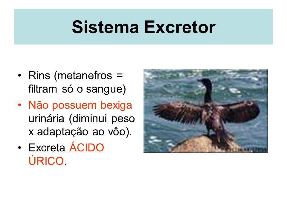 Sistema Excretor Rins (metanefros = filtram só o sangue) Não possuem bexiga urinária (diminui peso x adaptação ao vôo).