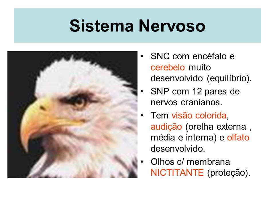 Sistema Nervoso SNC com encéfalo e cerebelo muito desenvolvido (equilíbrio).