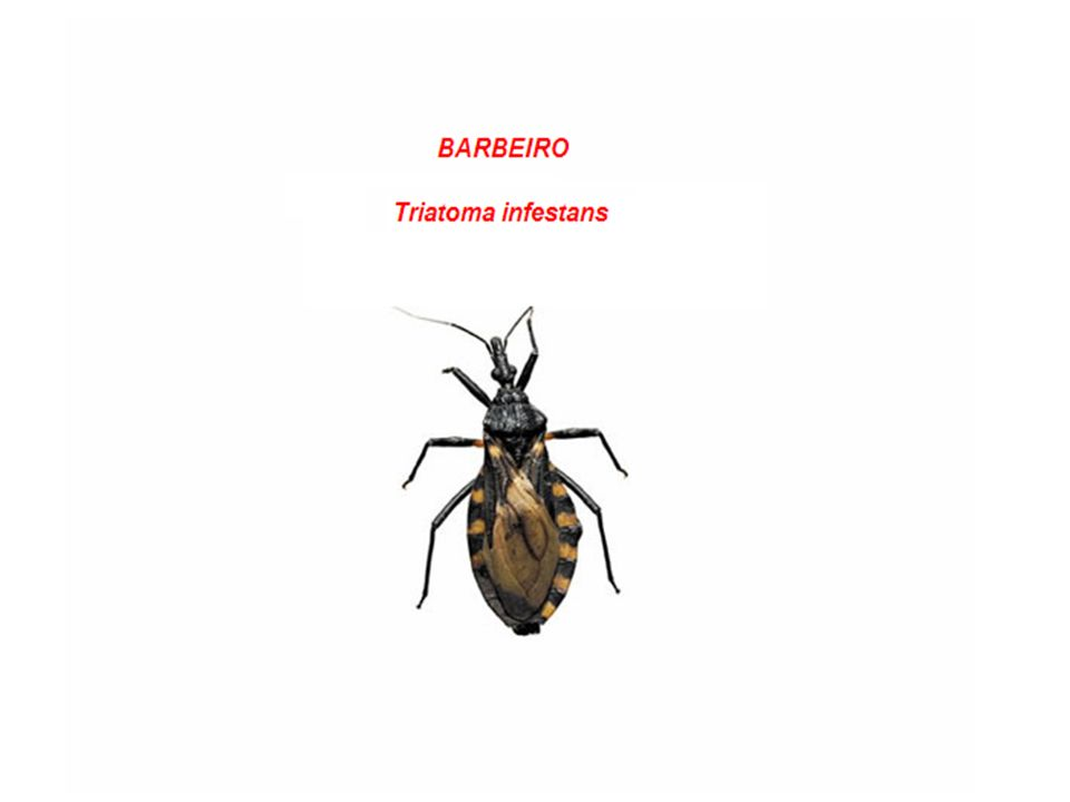 Doença de Chagas (Flagelado) Agente etiológico: Trypanosoma cruzi Hospedeiro Intermediário: Barbeiro (Triatoma infestans) Hospedeiro Definitivo: Homem