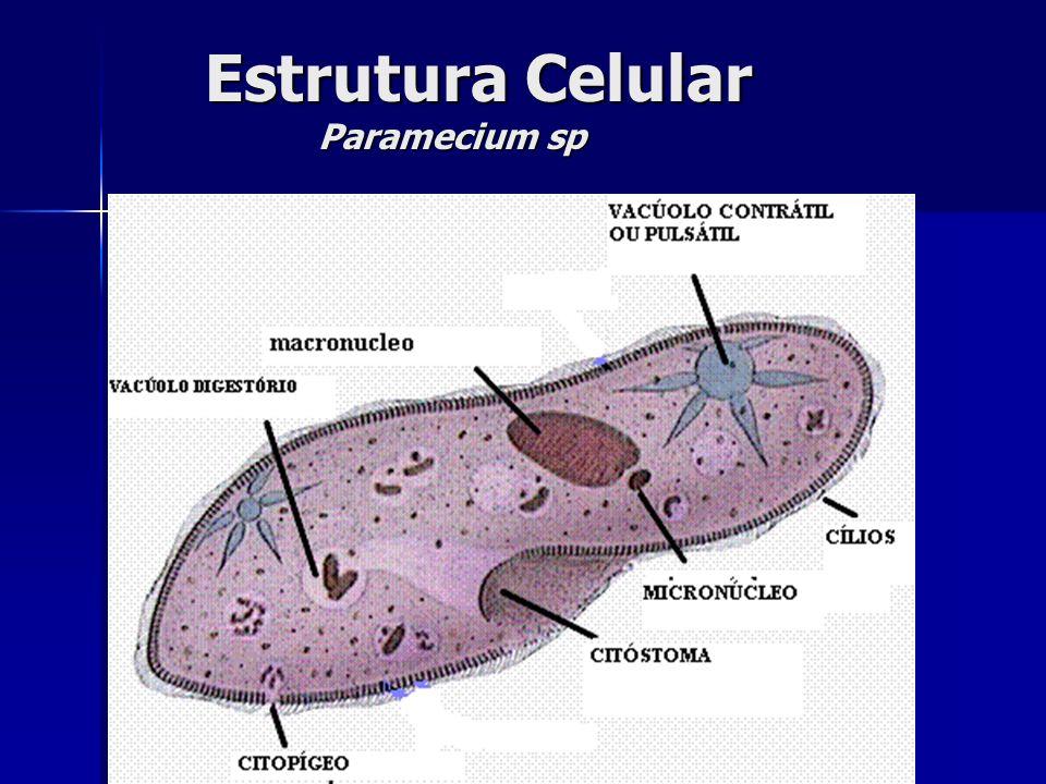 Estrutura Celular Paramecium sp Estrutura Celular Paramecium sp