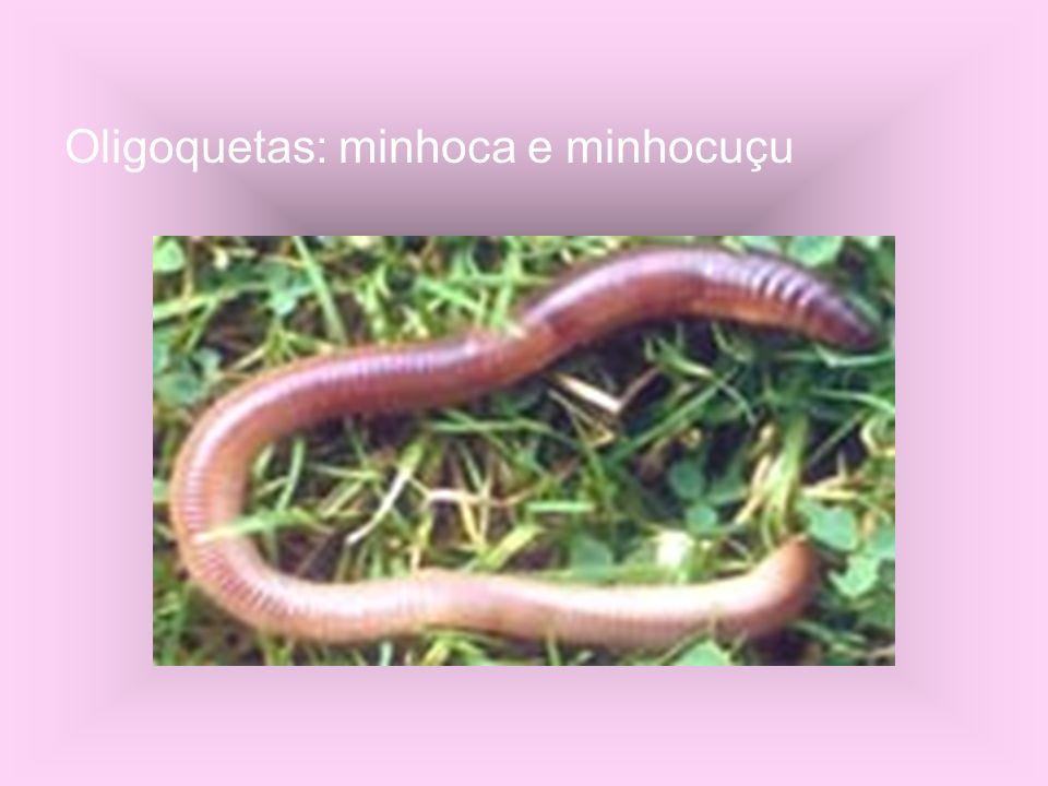 Oligoquetas: minhoca e minhocuçu
