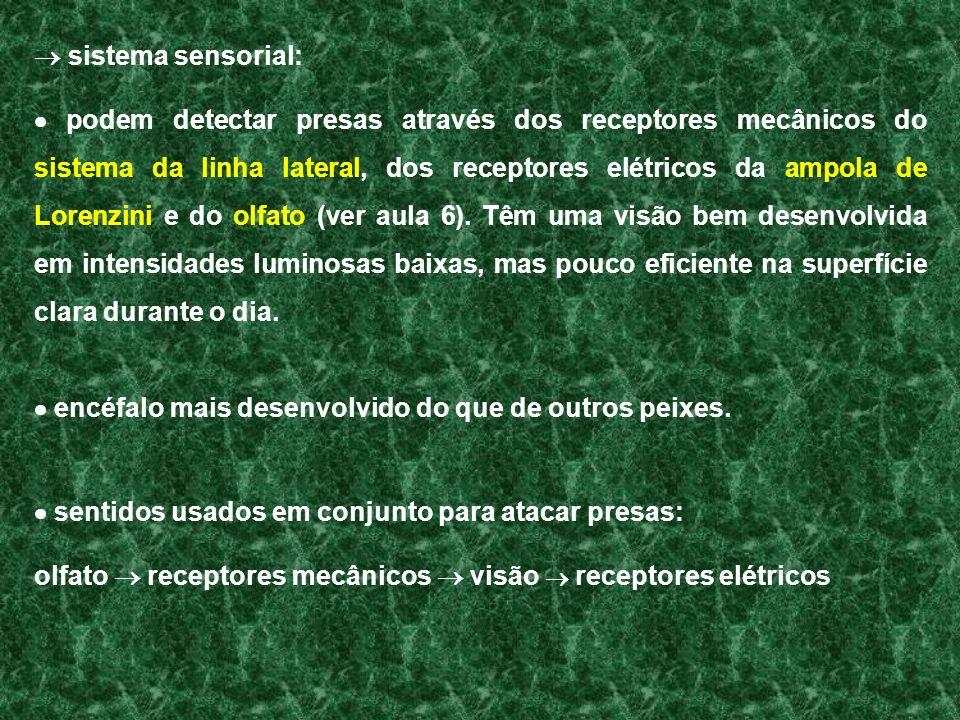 sistema sensorial: podem detectar presas através dos receptores mecânicos do sistema da linha lateral, dos receptores elétricos da ampola de Lorenzini