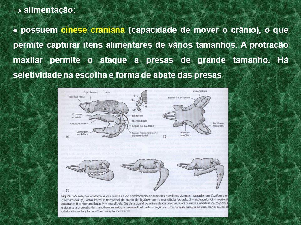 alimentação: possuem cinese craniana (capacidade de mover o crânio), o que permite capturar itens alimentares de vários tamanhos. A protração maxilar