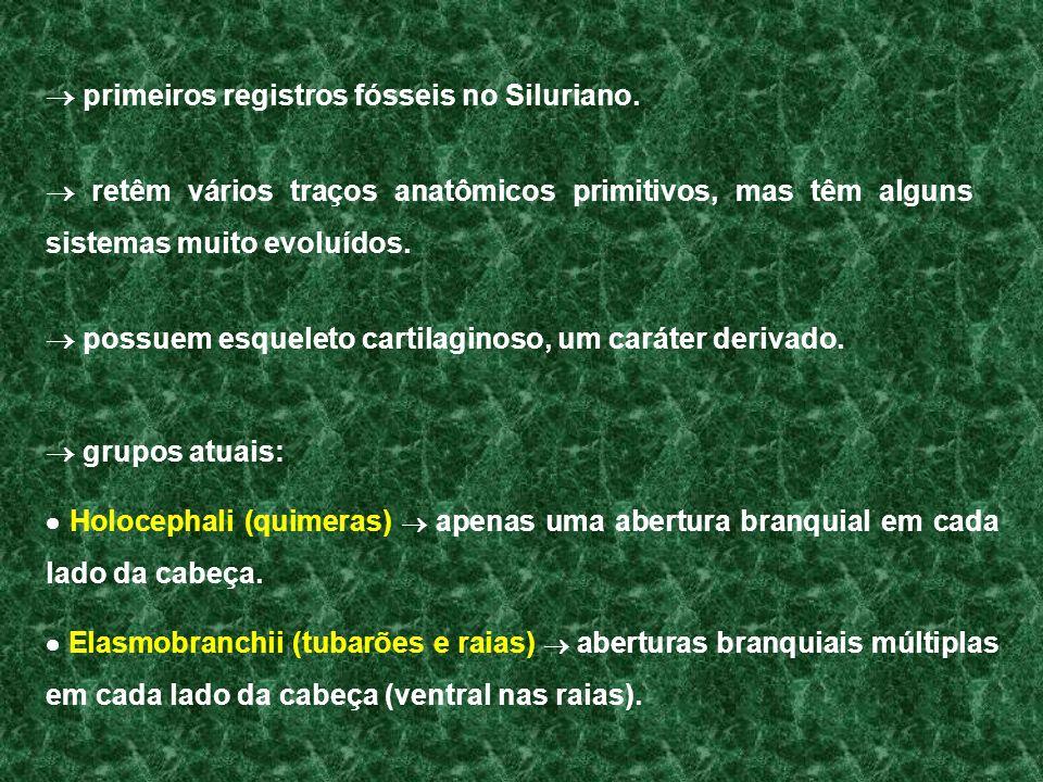 grupos atuais: Holocephali (quimeras) apenas uma abertura branquial em cada lado da cabeça. Elasmobranchii (tubarões e raias) aberturas branquiais múl