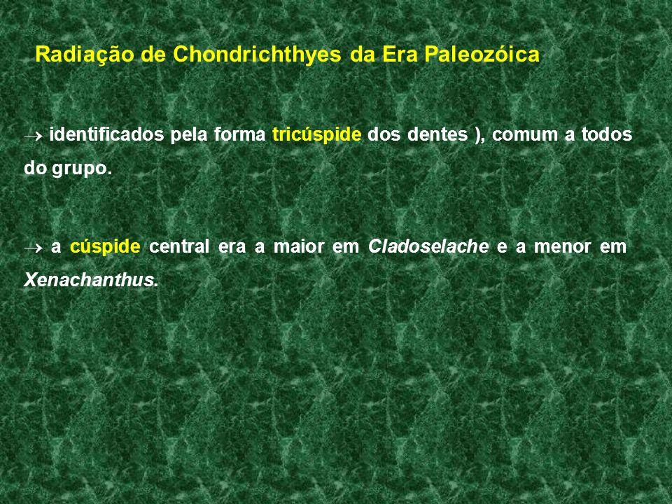 Radiação de Chondrichthyes da Era Paleozóica identificados pela forma tricúspide dos dentes ), comum a todos do grupo. a cúspide central era a maior e