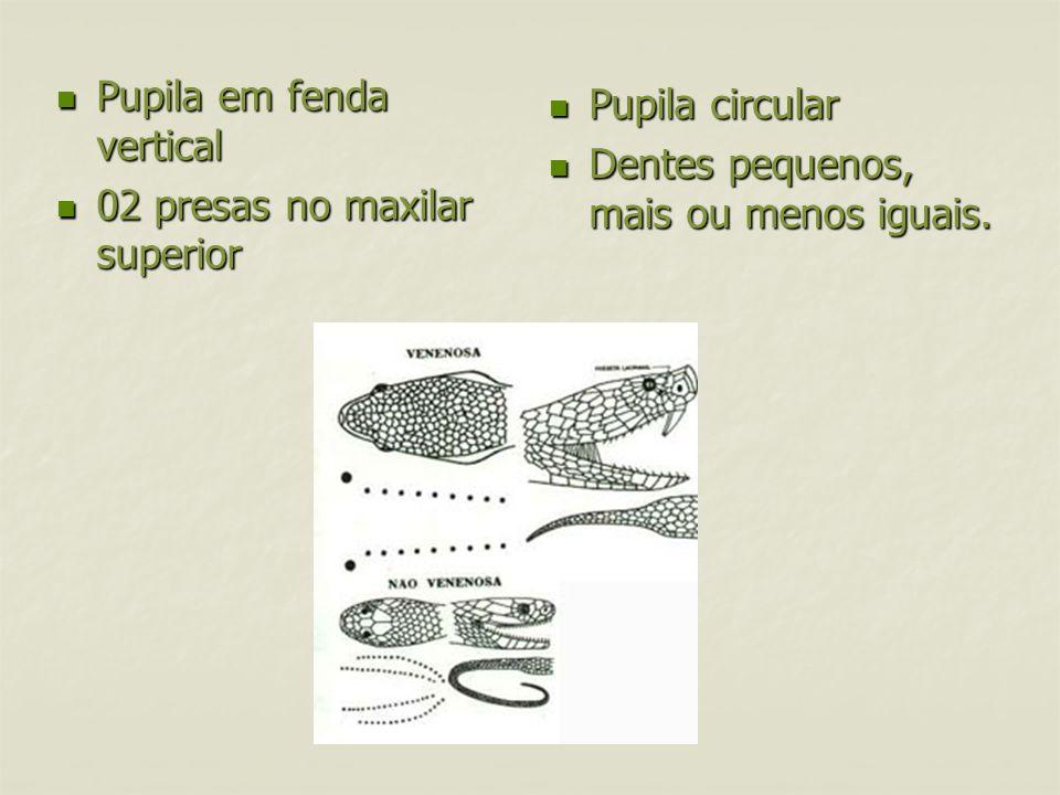 Pupila em fenda vertical 02 presas no maxilar superior Pupila circular Dentes pequenos, mais ou menos iguais.