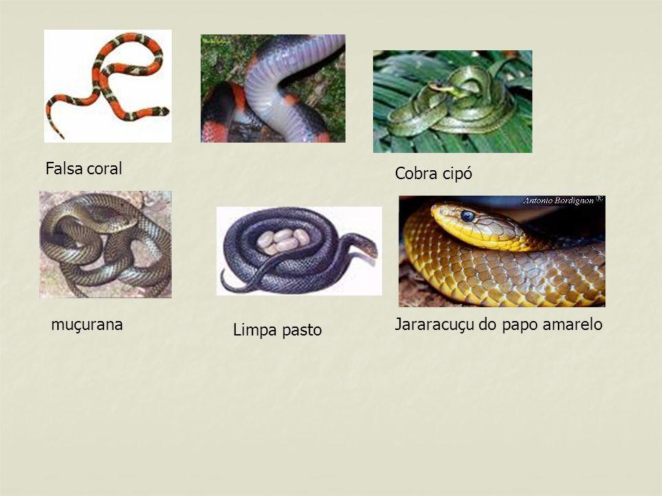 PICADAS DE COBRAS VENENOSAS As cobras são comuns em locais onde existem muitos ratos e preás.
