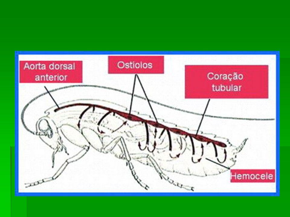 A respiração pode ser feita por brânquias, traquéias, pulmões foliáceos ou pela superfície do corpo.