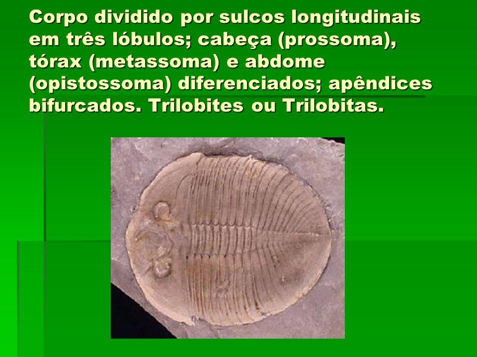 Corpo dividido por sulcos longitudinais em três lóbulos; cabeça (prossoma), tórax (metassoma) e abdome (opistossoma) diferenciados; apêndices bifurcad