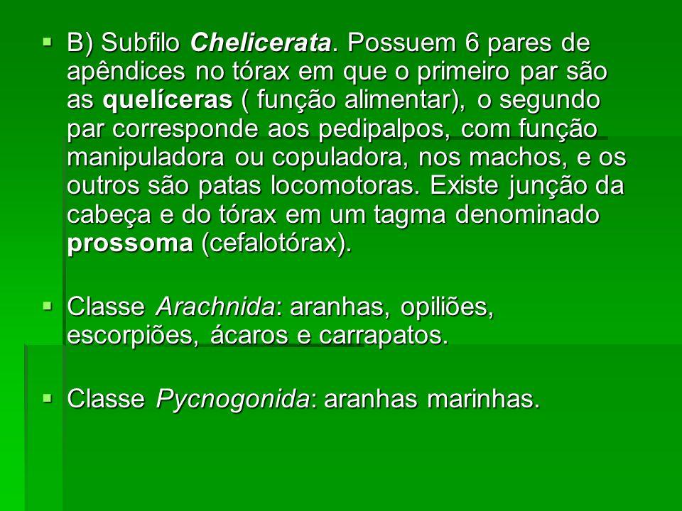 B) Subfilo Chelicerata. Possuem 6 pares de apêndices no tórax em que o primeiro par são as quelíceras ( função alimentar), o segundo par corresponde a