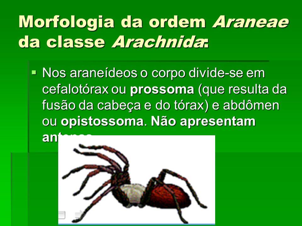 Morfologia da ordem Araneae da classe Arachnida: Nos araneídeos o corpo divide-se em cefalotórax ou prossoma (que resulta da fusão da cabeça e do tóra