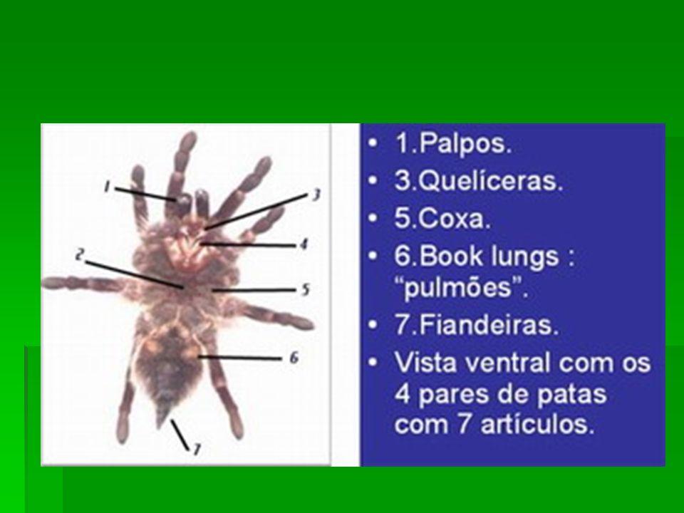 Quelíceras: são estruturas em forma de gancho ou tenaz, servem para capturar a presa e apresentam freqüentemente glândulas de peçonha associadas; Quelíceras: são estruturas em forma de gancho ou tenaz, servem para capturar a presa e apresentam freqüentemente glândulas de peçonha associadas;