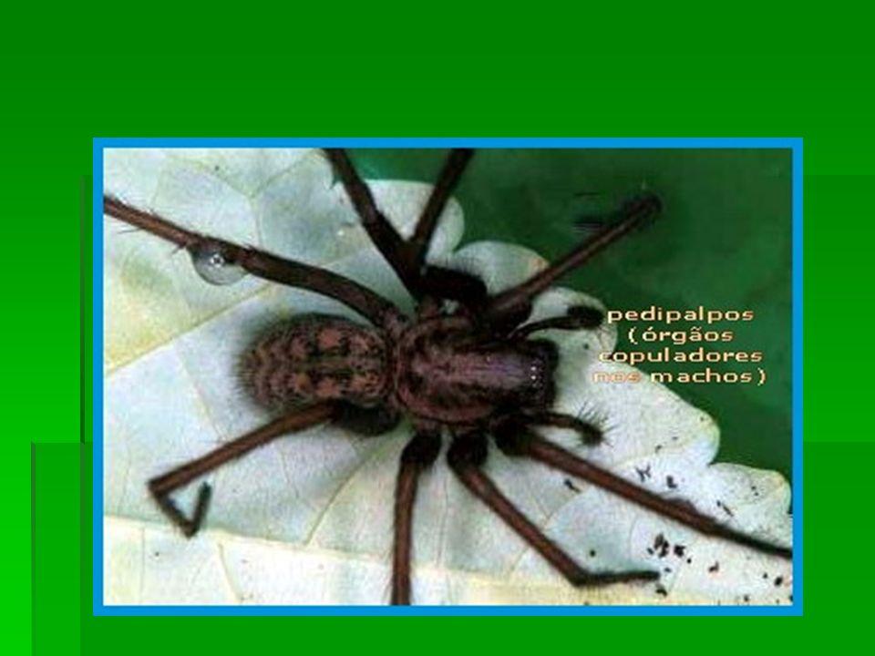 Os 4 pares de patas na grande maioria das espécies são apêndices locomotores mas o primeiro par pode ser longo e com uma função sensorial.
