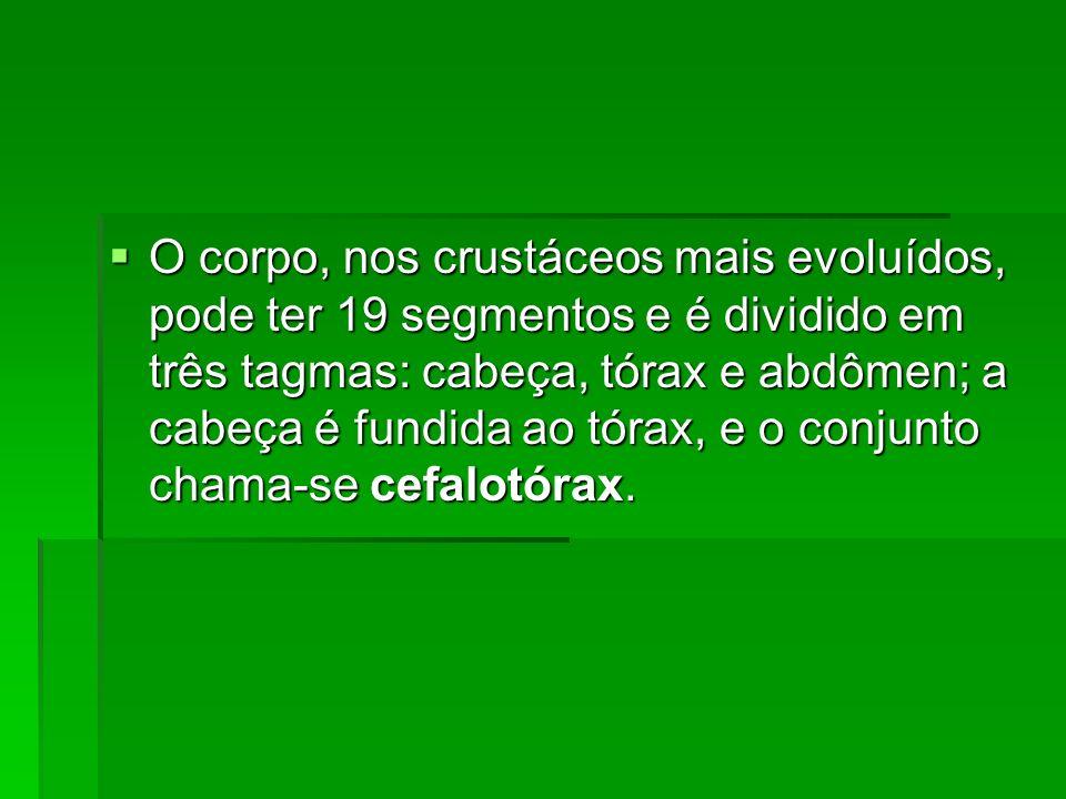 O corpo, nos crustáceos mais evoluídos, pode ter 19 segmentos e é dividido em três tagmas: cabeça, tórax e abdômen; a cabeça é fundida ao tórax, e o c