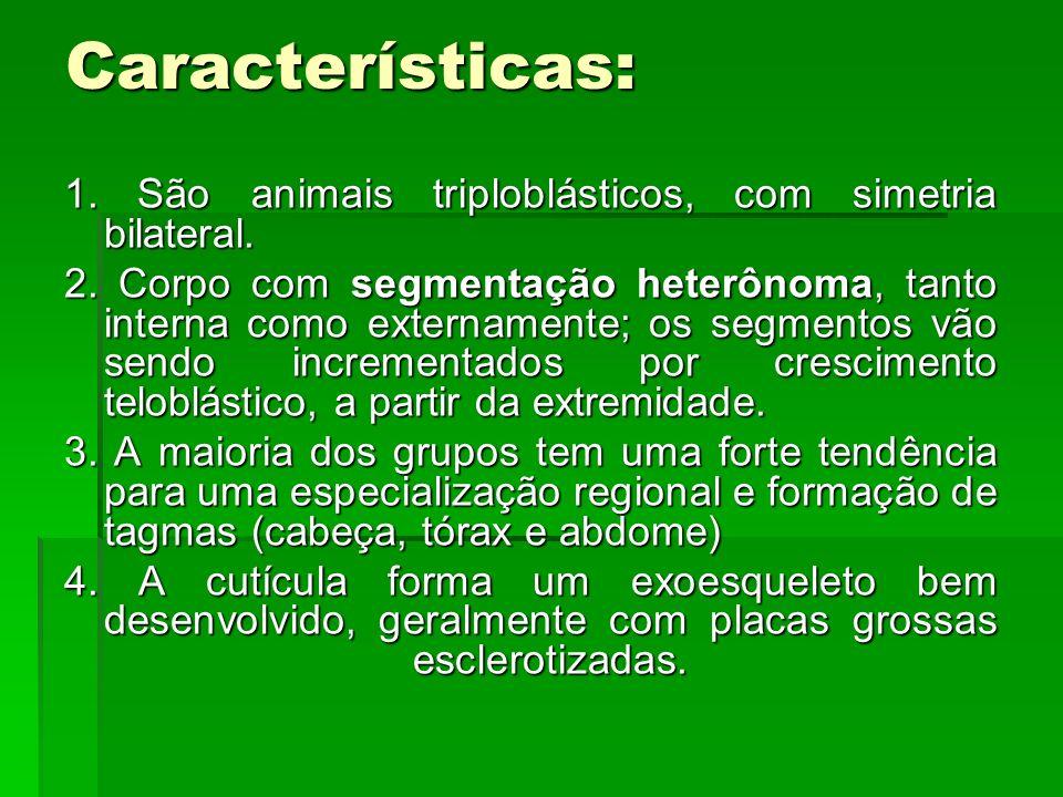Características: 1. São animais triploblásticos, com simetria bilateral. 2. Corpo com segmentação heterônoma, tanto interna como externamente; os segm