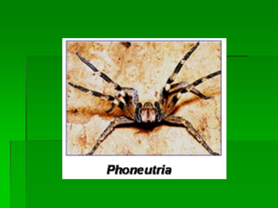 No loxoscelismo (acidente causado por aranhas Loxosceles sp) são descritas duas variedades clínicas: a forma cutânea que é a mais comum, caracterizada pelo aparecimento de lesão inflamatória no ponto da picada, que evolui para necrose e ulceração; forma cutâneo-visceral, onde além de lesão cutânea, os pacientes evoluem com anemia, icterícia cutâneo- mucosa, hemoglobinúria.