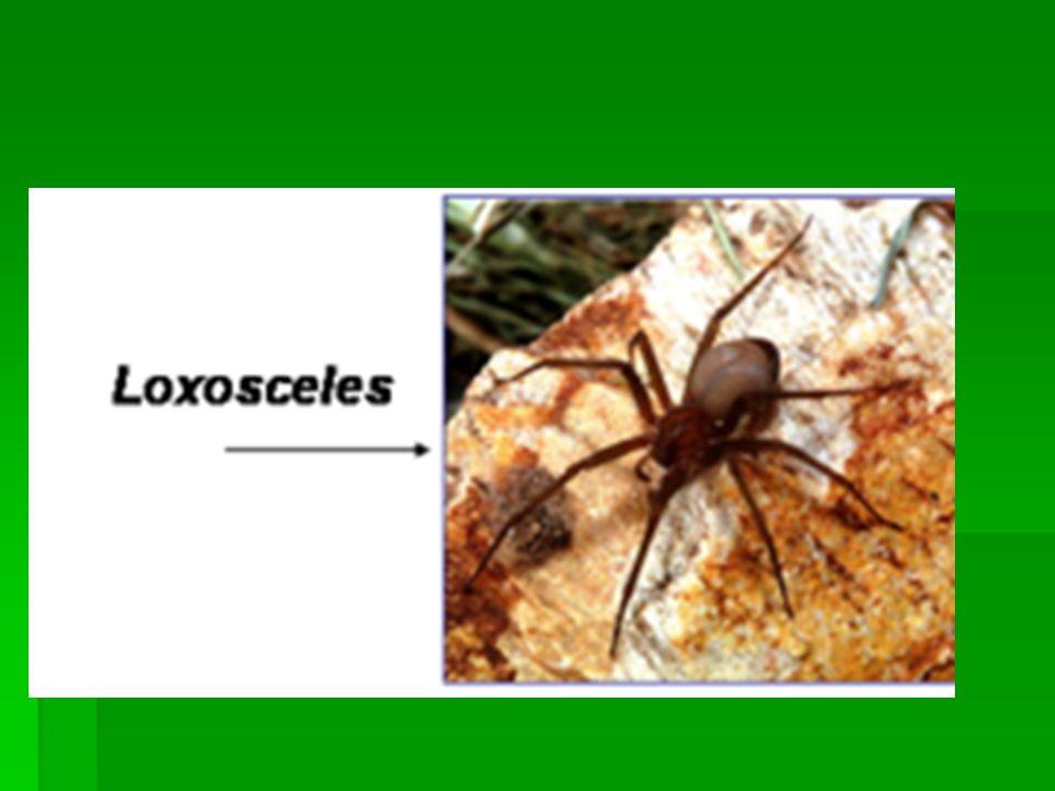 O gênero Latrodectus (viúva negra) – cuja espécie mais comum no Brasil é a Latrodectus curacaviensis -, ao contrário do que se verifica em outros países, é agente raro de acidente em nosso país.