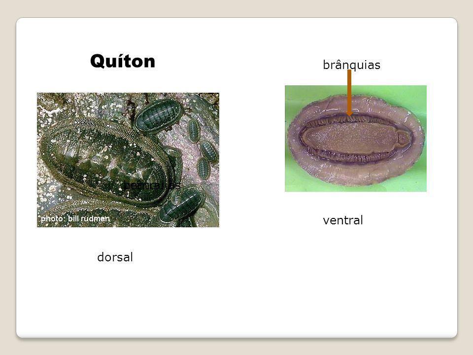 brânquias Quíton dorsal ventral