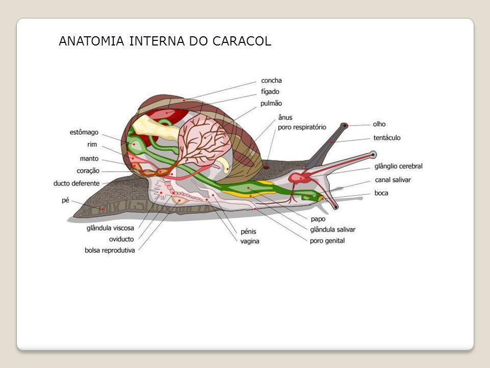 ANATOMIA INTERNA DO CARACOL