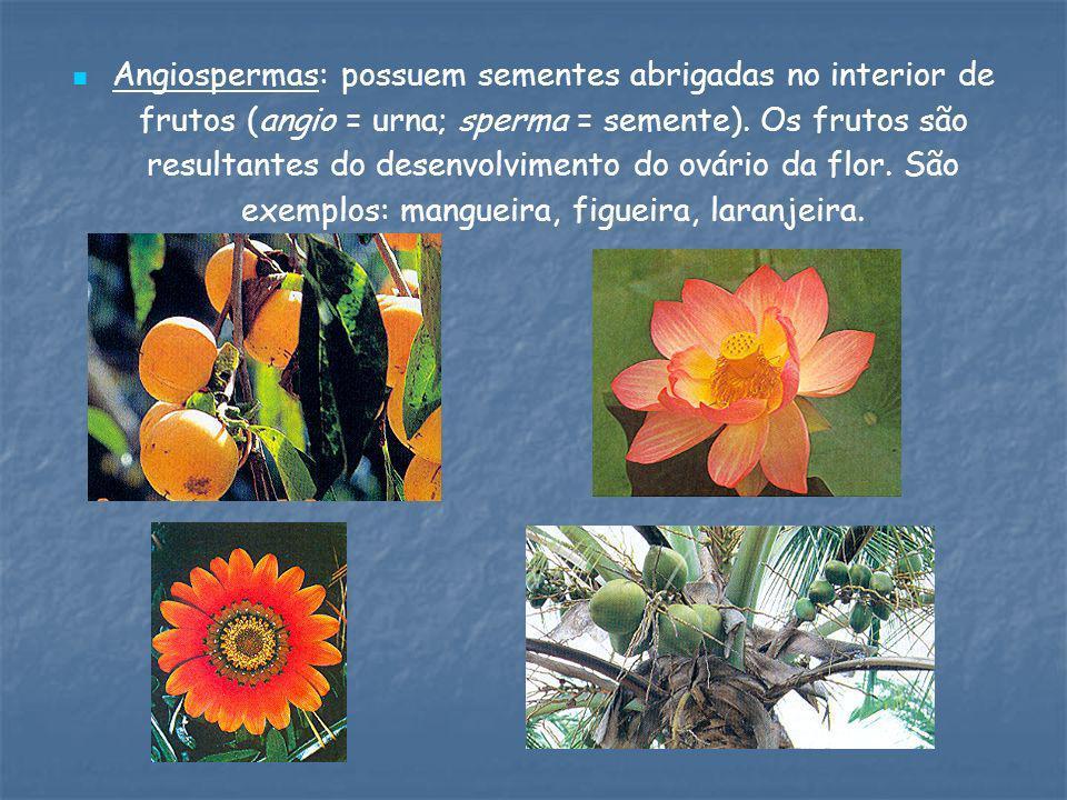 Angiospermas: possuem sementes abrigadas no interior de frutos (angio = urna; sperma = semente). Os frutos são resultantes do desenvolvimento do ovári