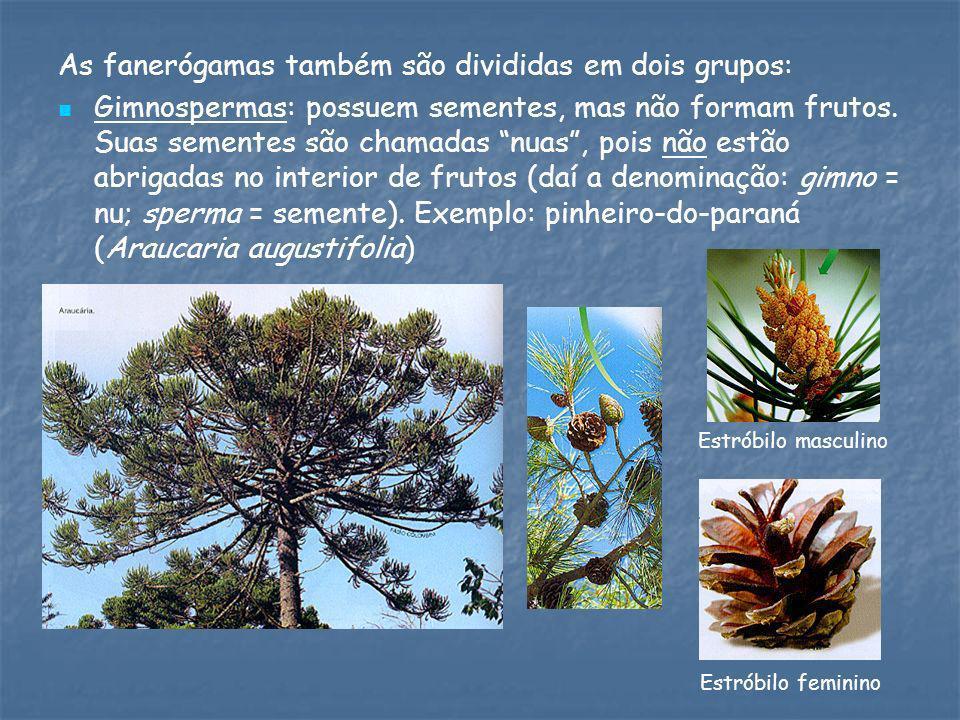 As fanerógamas também são divididas em dois grupos: Gimnospermas: possuem sementes, mas não formam frutos. Suas sementes são chamadas nuas, pois não e